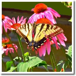 Yellow swallowtail on echinacea. Photo courtesy of Martin Mcreath.