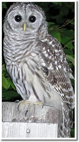 Barred Owl Jones